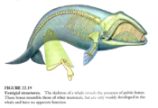 Whale Pelvis 2