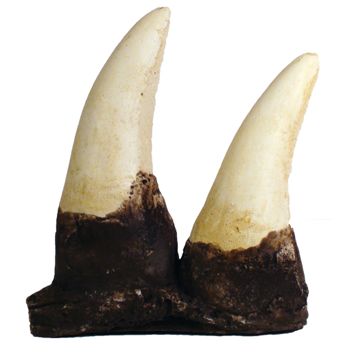 T Rex Teeth