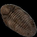 Phacops Trilobite