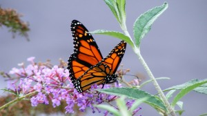 monarch-butterfly_2