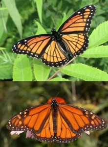 monarch mimicry