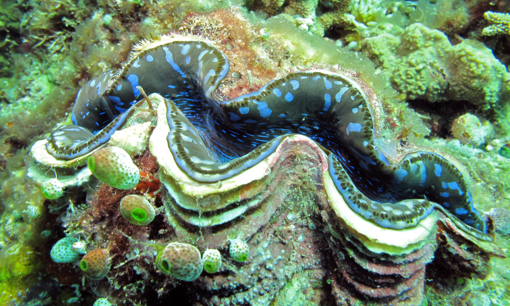 giant clam-scientific research-john mackay-science daily