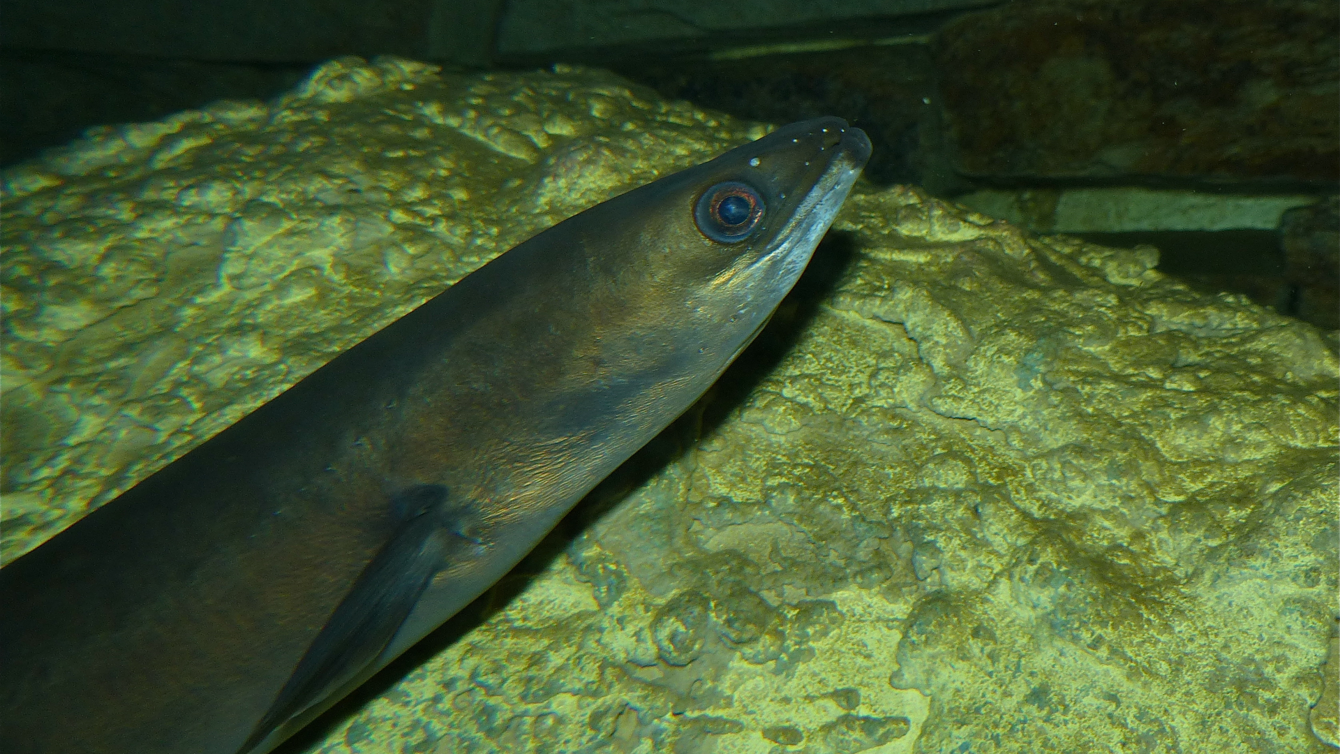 european eel-origin of the species-darwin-richard nelson