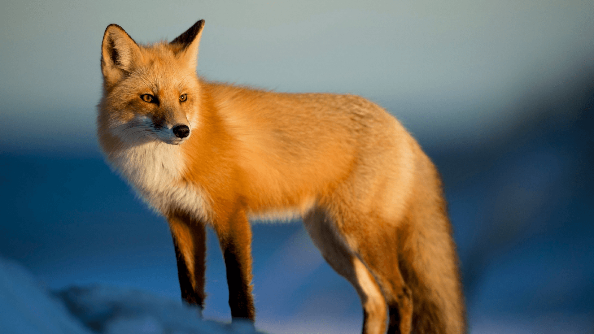 Micro Evolution of the Fox (Vulpes)